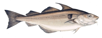 Haddock-2