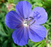 weedy-geranium