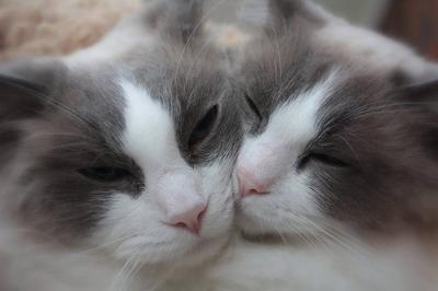 ragdoll-cats999